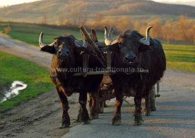 Costas_Dumitrescu - Car cu bivoli - Libotin